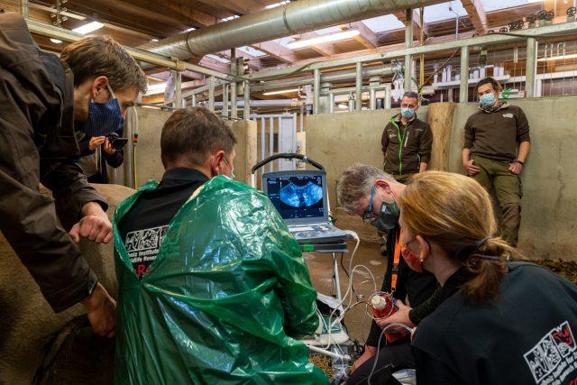 Expertům z IZW Berlín se při listopadovém odběru podařilo v německé ZOO Schwerin odebrat samicím jižního podruhu nosorožců 26 vajíček