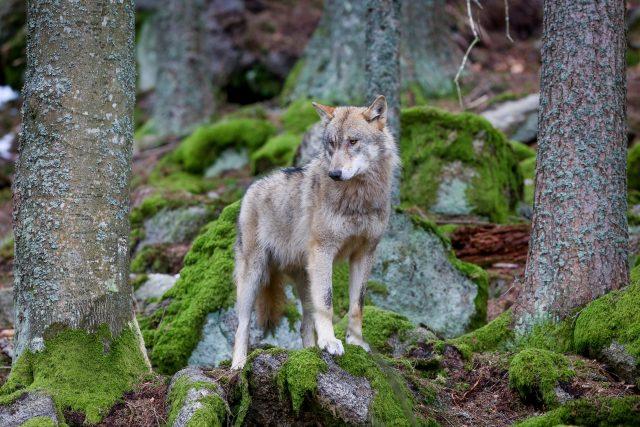 Vlk obecný ve výběhu Národního parku Šumava v Srní