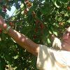 Třešňové sady Svinčany - zahradník František Hlubocký v koruně